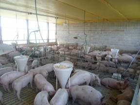 Análisis del crecimiento de la carne porcina en el contexto nacional: Entre Ríos ocupa el cuarto lugar a nivel nacional en la producción porcina
