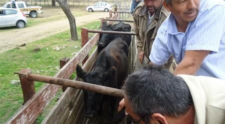 Al percatarse de operativos de la policía y la brigada de delitos rurales de Federal: Arrojan desde un camión mas de 30 vacunos que habían sido robados en la zona rural de Alcaraz