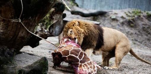 TENÍA DOS AÑOS Un zoo danés sacrificó a una jirafa, pese a una campaña para salvarla