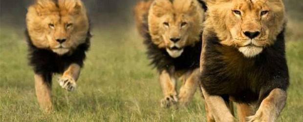 Buscaban rinocerontes: Tres cazadores fueron devorados por una manada de leones en Sudáfrica