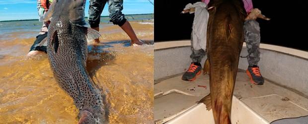"""Varias horas de """"pelea"""" : Pescaron un manguruyú de 80 kilos y un enorme surubí en el río Paraná: Imágenes"""