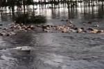 Dramático video: Así se ahogan cientos de vacas en un campo inundado
