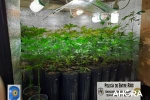 Hallaron un invernadero con 420 plantas de marihuana en Paraná