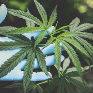 Actividad Legislativa: Se avanza hacia la comercialización del Cannabis